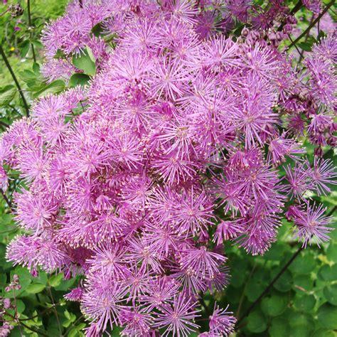 meadow rue flower essence flower essences flower remedies tree frog farm