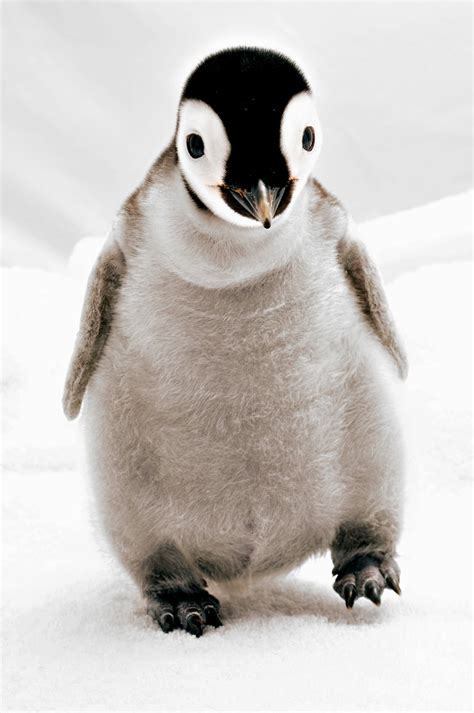 Top Pinhuin penguins mighty pictures