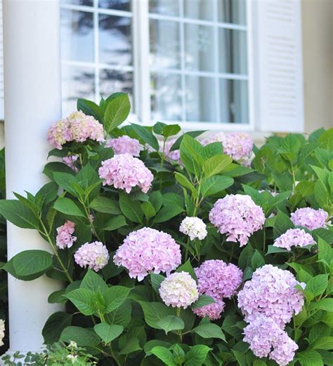 hydrangea front yard growing healthy hydrangeas centsational