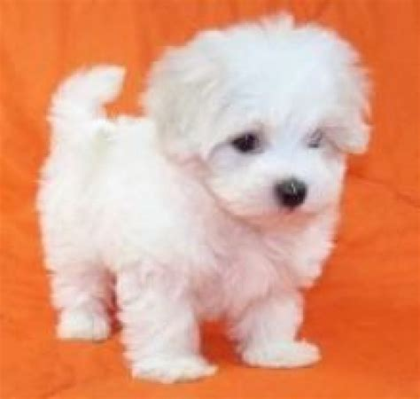 dogs for sale in maltese puppies for sale dogs puppies oregon free classified