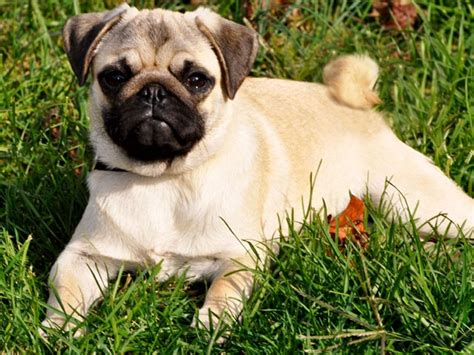 riverhill pugs akc chion bloodline sires riverhillpugs 169 2015 apricot black and fawn