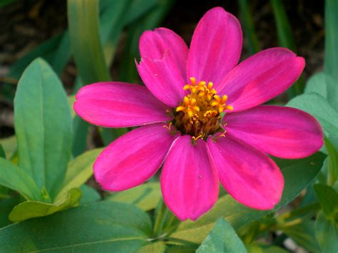 file pinkflower     wikimedia commons