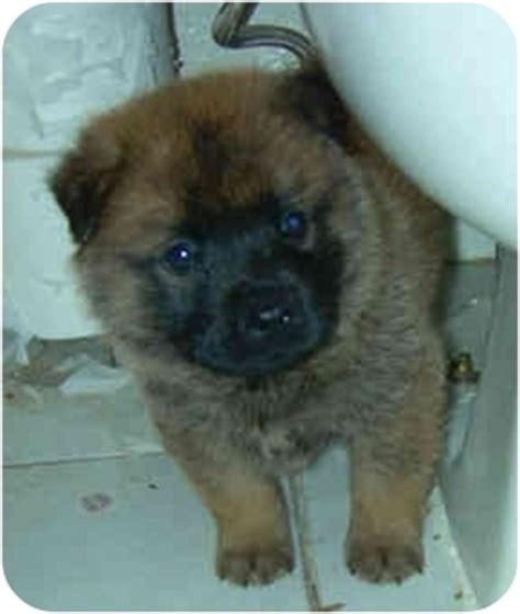 keeshond golden retriever mix clunk n adopted puppy harbor city ca keeshond labrador retriever mix