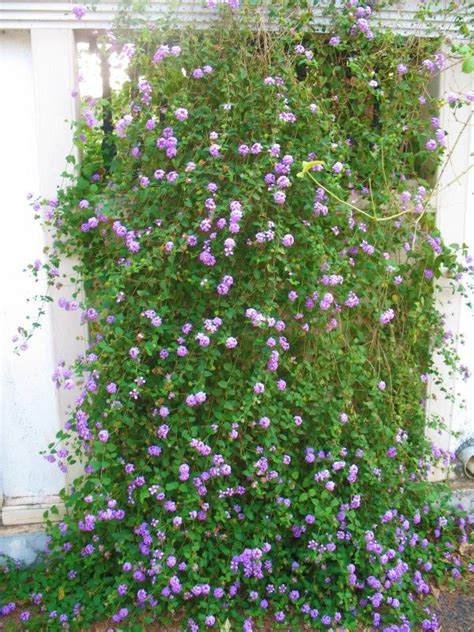draping plants purple lantana against a wall www whatsurhomestory com
