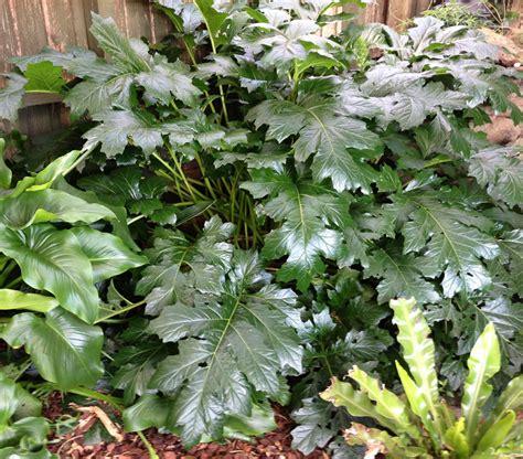 "Acanthus Oyster Plant 6"" Pot   Hello Hello Plants & Garden"