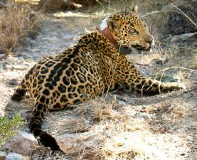 Jaguar Arizona Jaguars Archives Animal Fact Guide