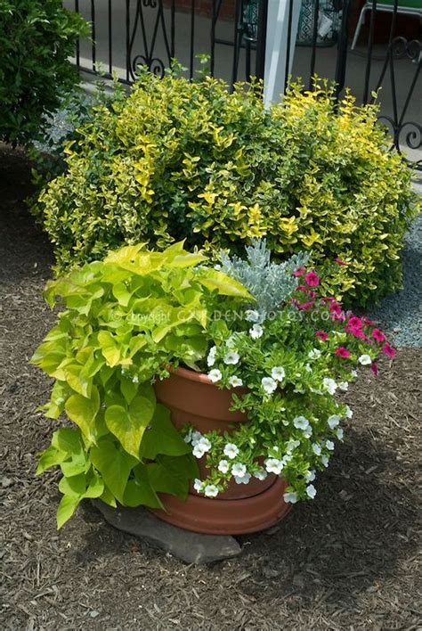 sweet potato container garden 1000 images about container gardening on