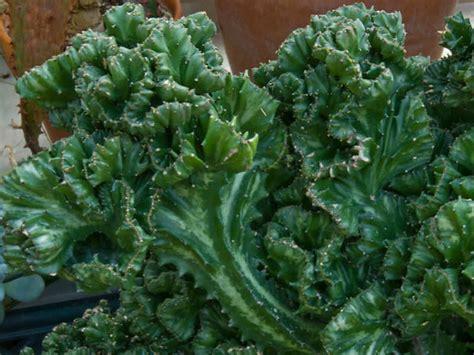 Succulent Arrangements euphorbia lactea cristata crested elkhorn world of