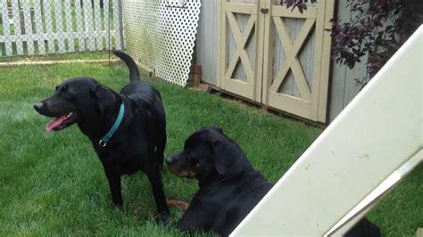 rottweiler lab puppies rottweiler with labrador retriever