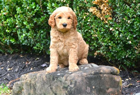 golden retriever breeder houston golden retriever breeders near houston tx photo