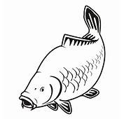 Carp Fish Drawing Illustration Of A For