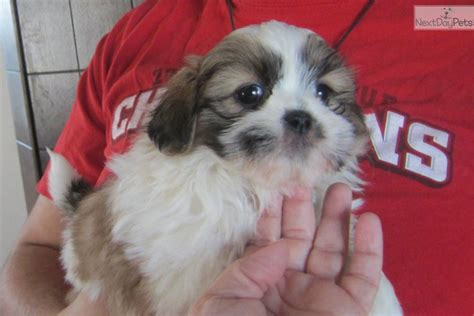 shih tzu puppies nashville tn shih tzu puppy for sale near nashville tennessee 76412053 e001