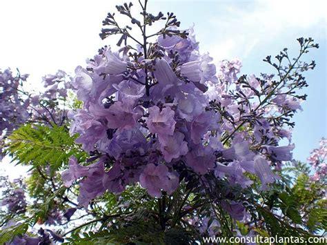 imagenes de flores jacaranda jacaranda mimosifolia o palisandro del brasil cuidados