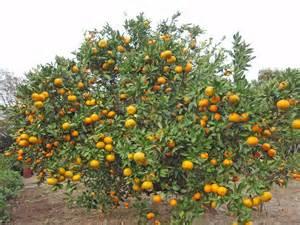 when do satsuma trees produce fruit satsumas dixie dining