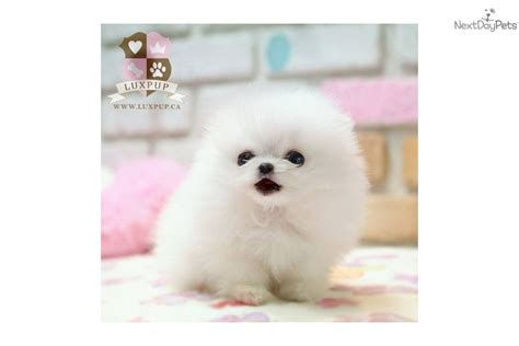 teacup pomeranian for sale vancouver white teacup pomeranian price