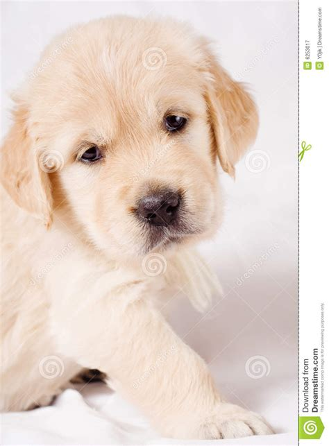 gray golden retriever puppies small retriever puppy on gray background royalty free stock photography image 6253017