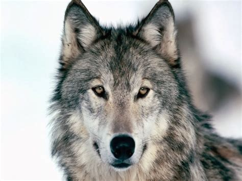 what color are wolves veterinary wolf all about wolves 2014 part 2