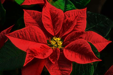 christmas plants fact or fiction are poinsettia plants poisonous