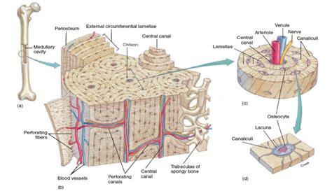 compact bone diagram compact bone craftbrewswag info