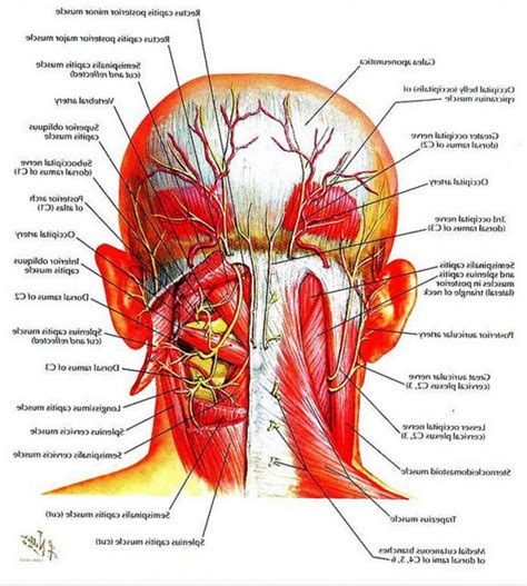 diagram of the neck back neck muscles anatomy human anatomy diagram