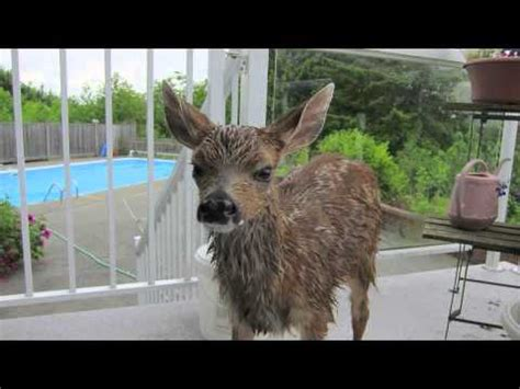 rescues fawn baby fawn and rescued by doovi