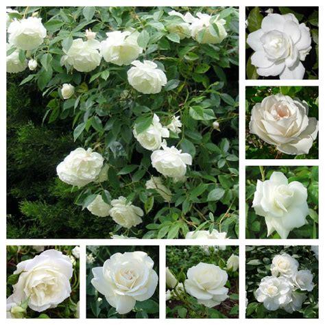 bulgaria 171 il paese delle rose 187 ma c 232 anche orfeo e i re di tracia viaggi e turismo bulgaria tra orto e giardino la rosa iceberg