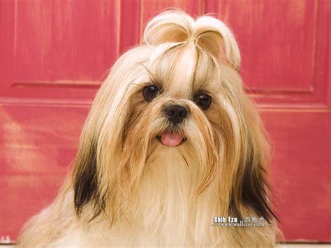 Shih tzu screensavers cute puppies photo and wallpapers