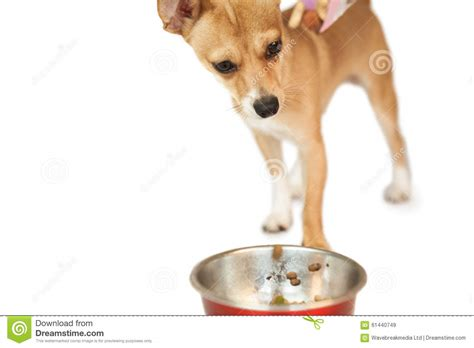 dog eating from bowl cute dog eating from bowl stock photo image 61440749