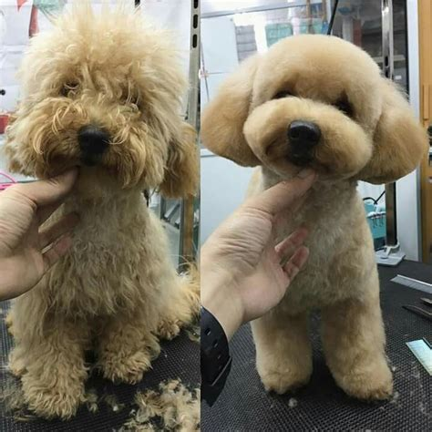 cavapoo haircut before and after las 25 mejores ideas sobre cortes caniche en pinterest y