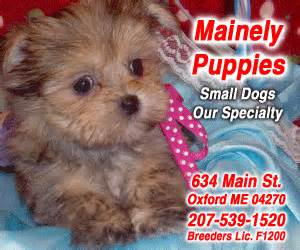 dogs for sale in maine small mixed breed puppies for sale south maine mainely puppies
