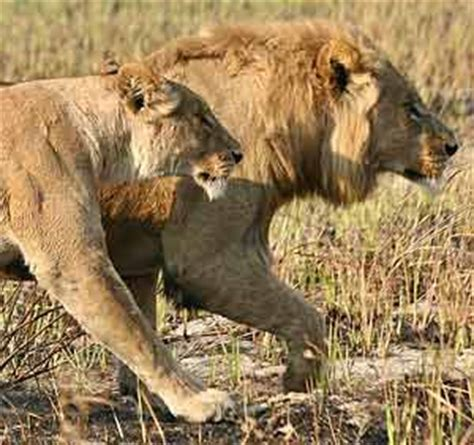 difference between lion and lioness image gallery lion and lioness hunting