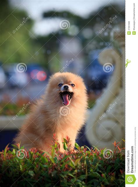 in home sitting pomeranian sitting and in home garden stock photo image 27351560