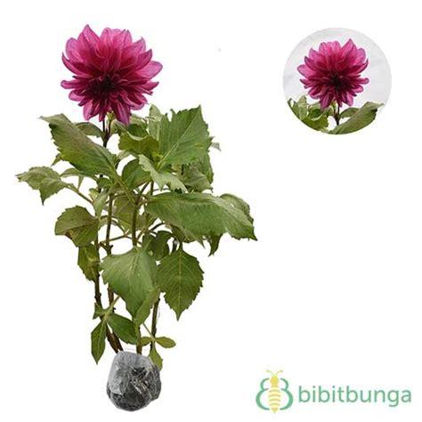 Tanaman Dahlia tanaman dahlia ungu jual tanaman hias