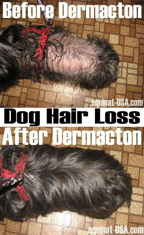 home remedys for dogs losing hair dog hair loss treatment dogs dermacton natural