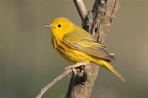the yellow birds american yellow warbler wikipedia