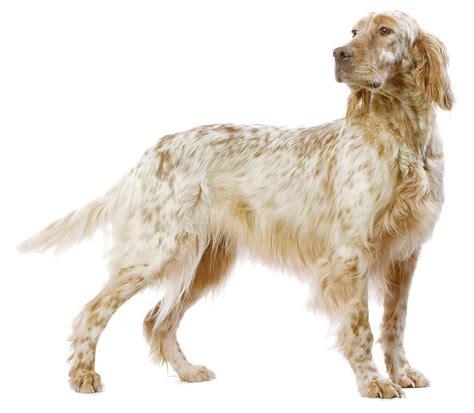 definition de setter anglais chien setter anglais chien et chiot fiche de race du
