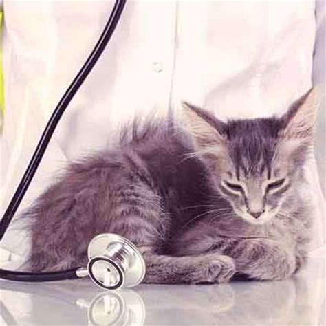 murmur treatment 5 ways to prevent disease in cats petcarerx