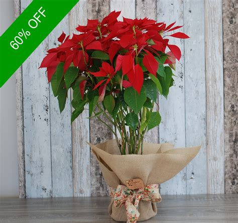 christmas plants christmas plant poinsettia plant angkor flowers