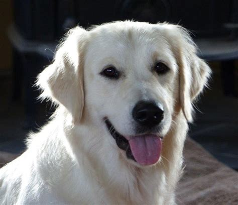 golden retriever breeders ottawa golden retriever glenbern s bubbly white gold glenbern golden retriever breeder