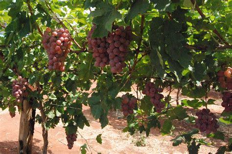 imagenes de uva malbec identifican bacterias para mejorar calidad del malbec