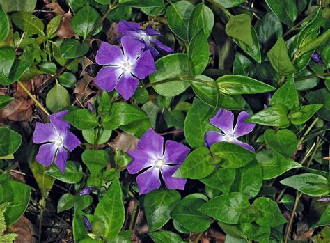 Garden Flower Plants Vinca Major Greater Periwinkle Go Botany