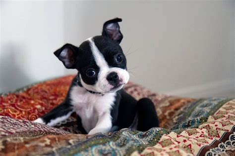 tea for dogs teacup dogs 21 tiny breeds for apartment living