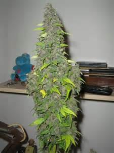 Orbit Lighting Sensi Gt Cannabis Forum Giant Buds