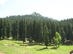 images of trees pine trees india travel forum indiamike com