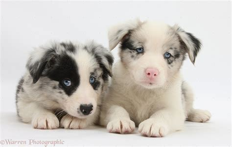 collie dogs dogs border collie puppies 6 weeks photo wp29269