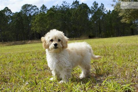 cavapoo puppies florida a j cavapoo puppy for sale near sarasota bradenton florida 5b8a5573 76e1