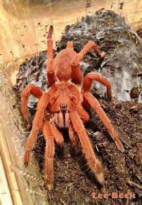 pin  lisa straitiff   love  spiders tarantula pet tarantula pet spider