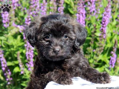 poogle puppies for sale adorable poogle puppies nuneaton warwickshire pets4homes
