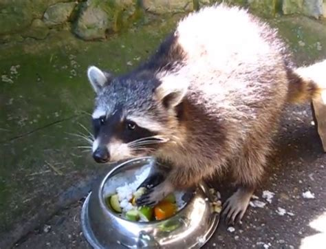 raccoon eats dinner like a ch rtm rightthisminute