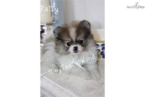 pocket pomeranian price pomeranian puppy for sale near arizona 9a34bfe3 17b1
